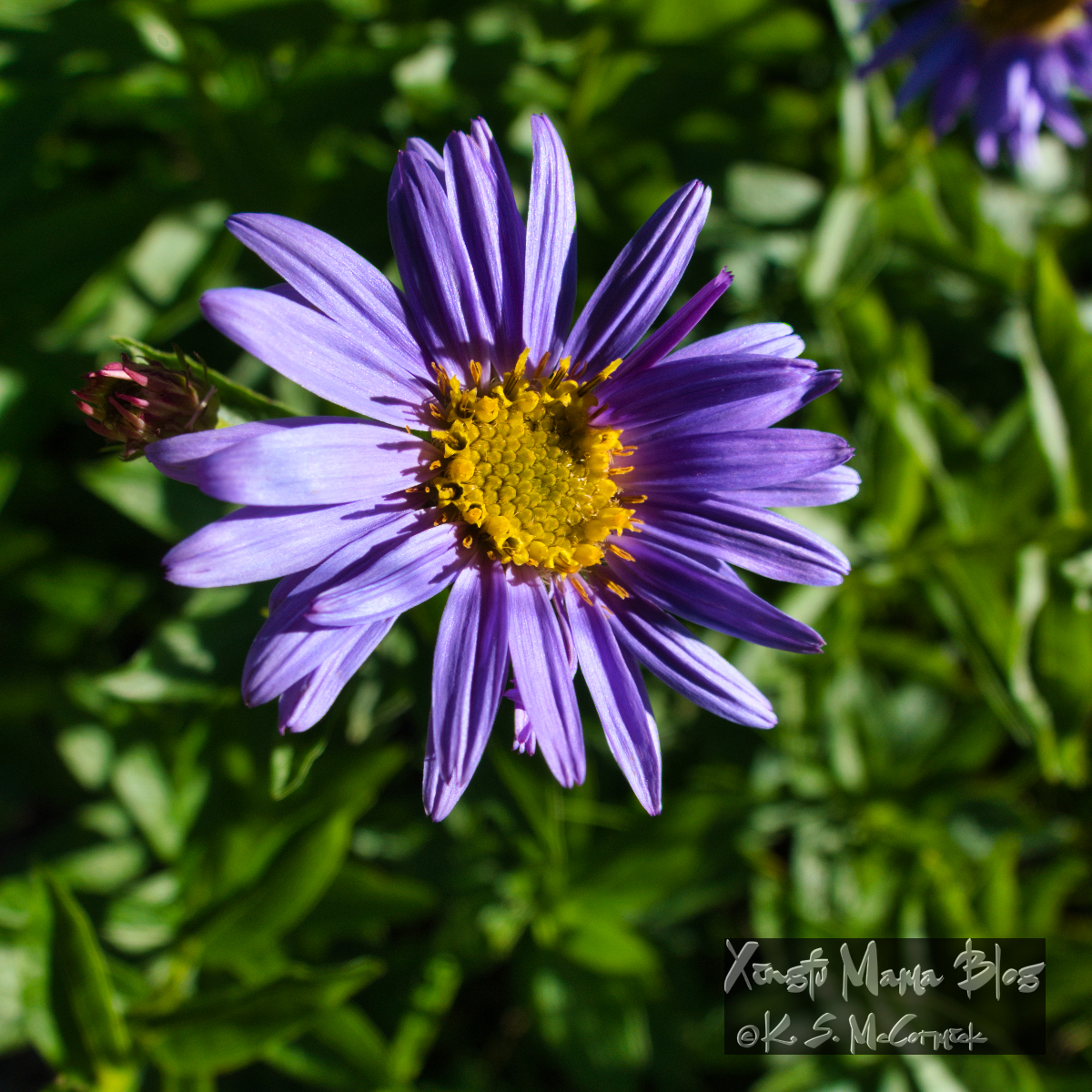 Close up of an aster in a meadow at Paradise on Mount Rainier.