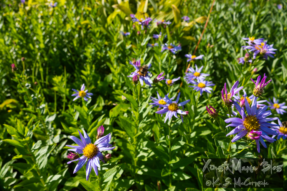 Asters in a meadow at Paradise on Mount Rainier.