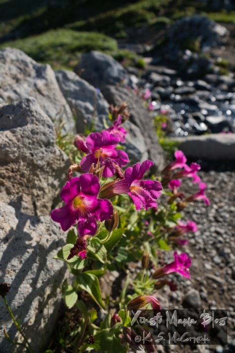 Pink Lewis's Monkeyflower blooming beside a stream a little above the treeline on Mount Rainier.
