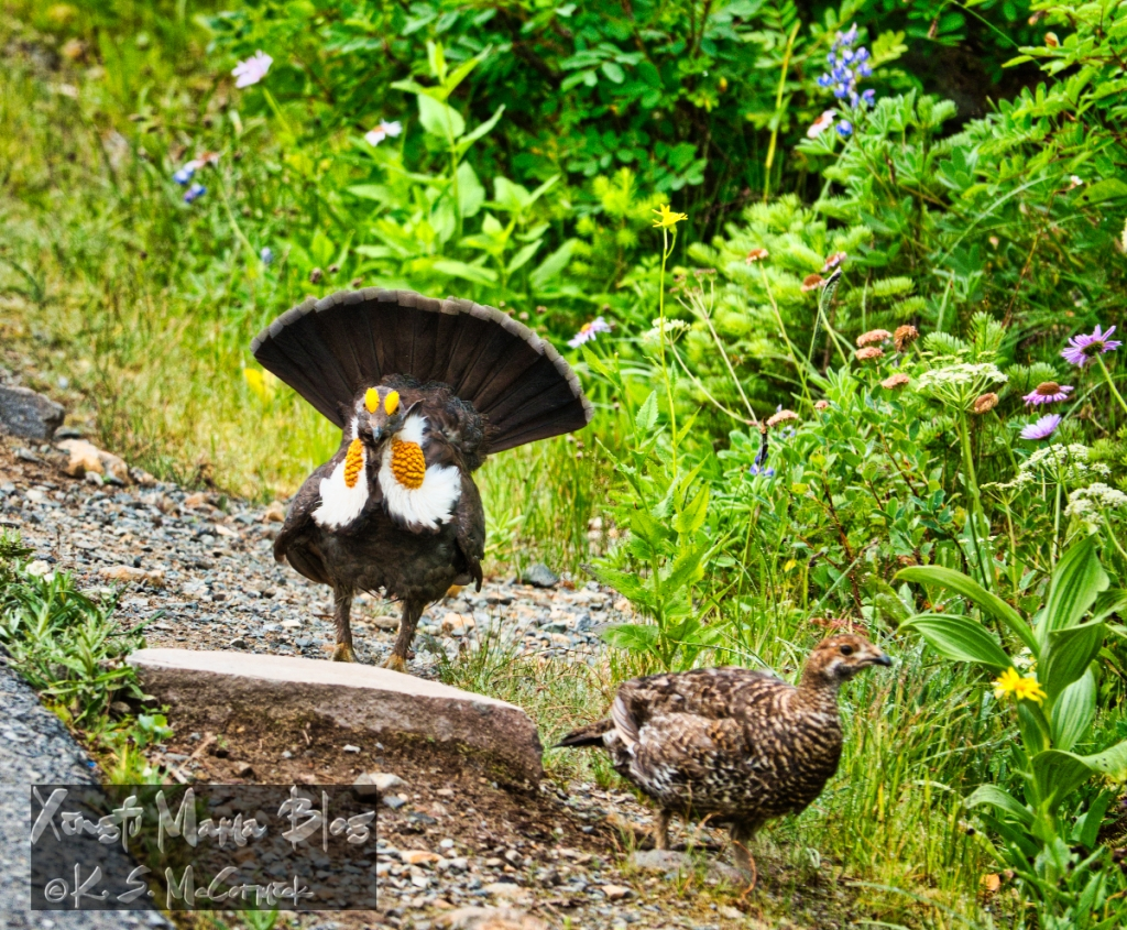 Male blue grouse courting a female at Paradise on Mount Rainier.