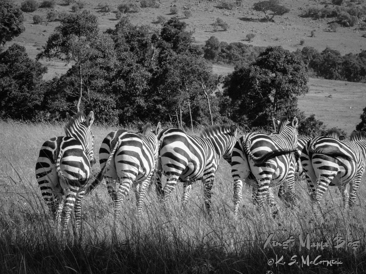 A row of zebra walking away with tails swinging at Masai Mara National Park in Kenya.