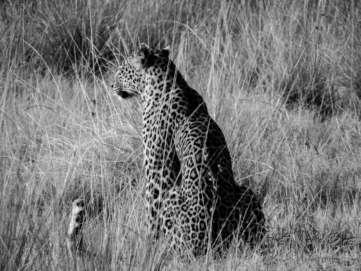 This leopard was watching a group of zebra watching her, at Masai Mara National Park, Kenya