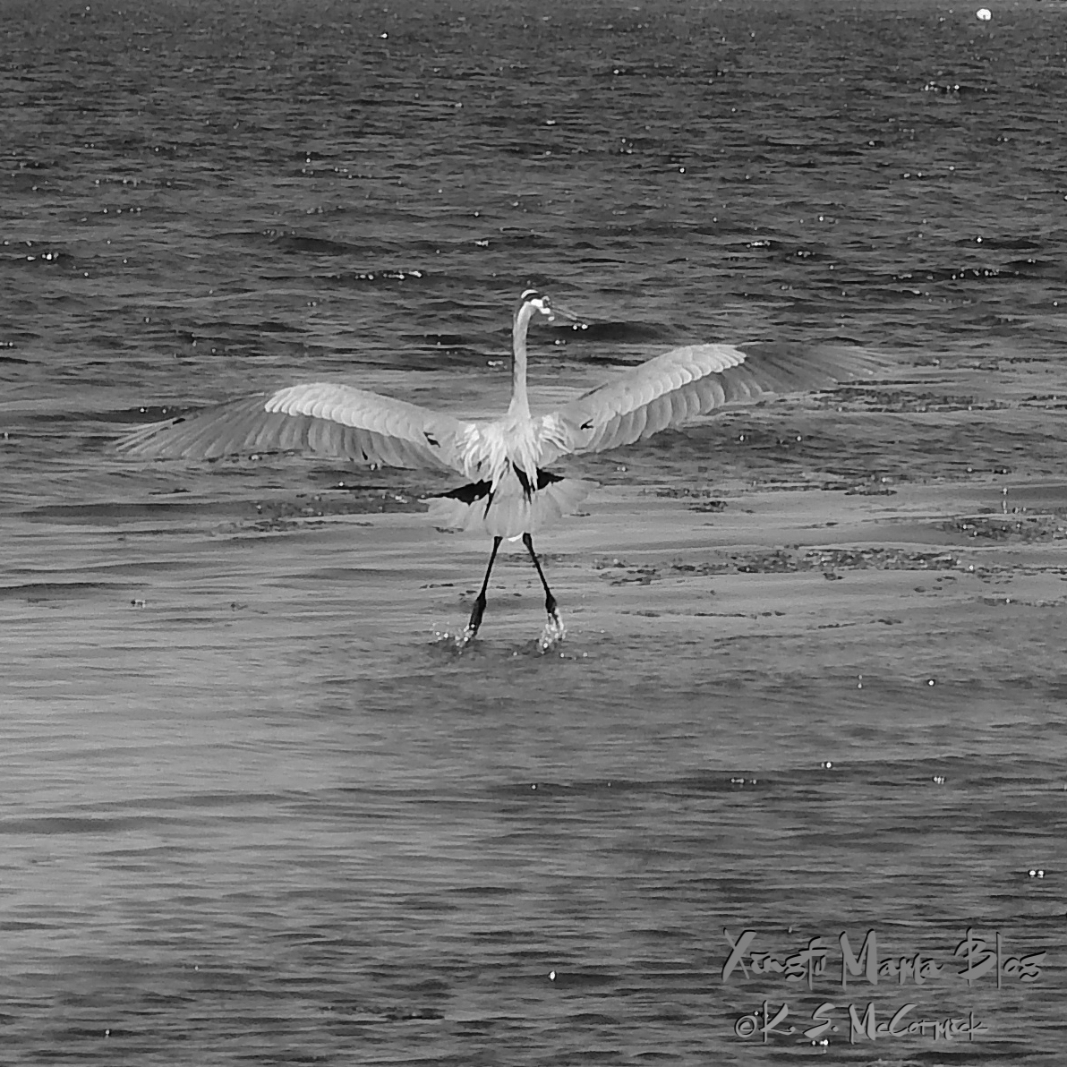 Great Blue heron with wings spread for take off, in Puget Sound, Washington State.