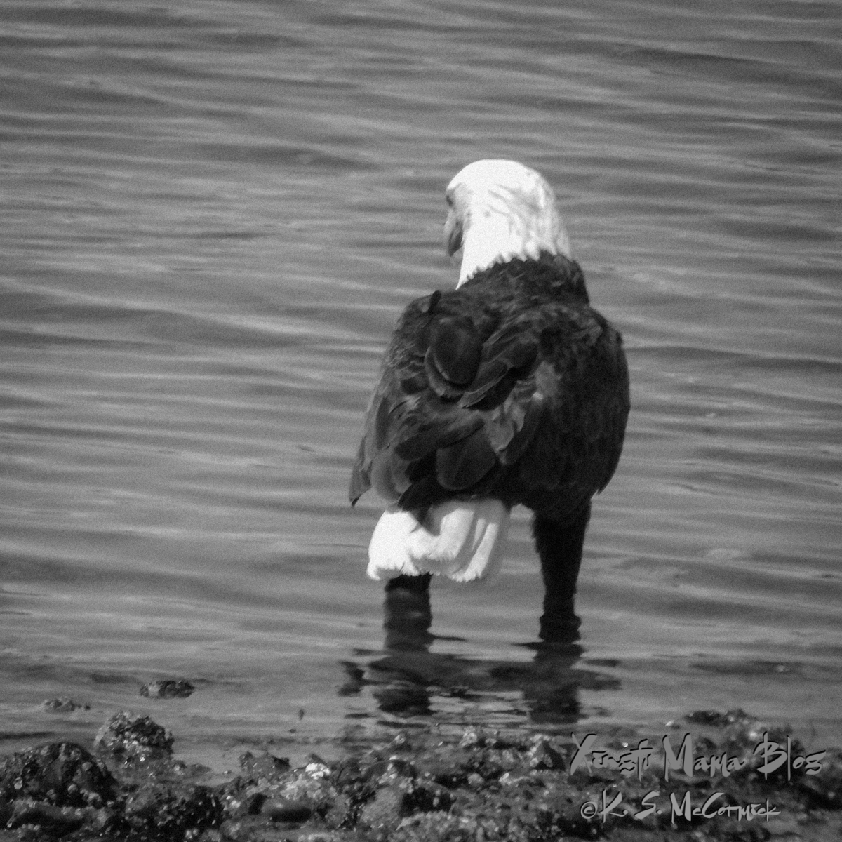 This bald eagle's got his eye on something. They often scare other birds away from fish or grab fish that were injured and got away from gulls or osprey. In Puget Sound in Washington State.