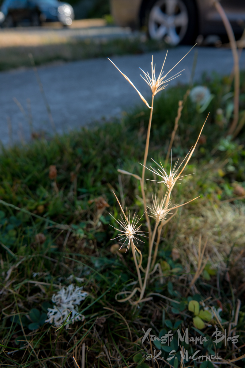 Foxtail grass looks like sparklers in the morning light.