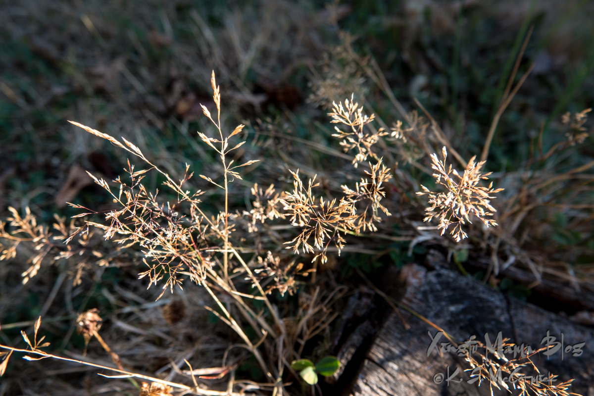 Mature grasses going to seed.