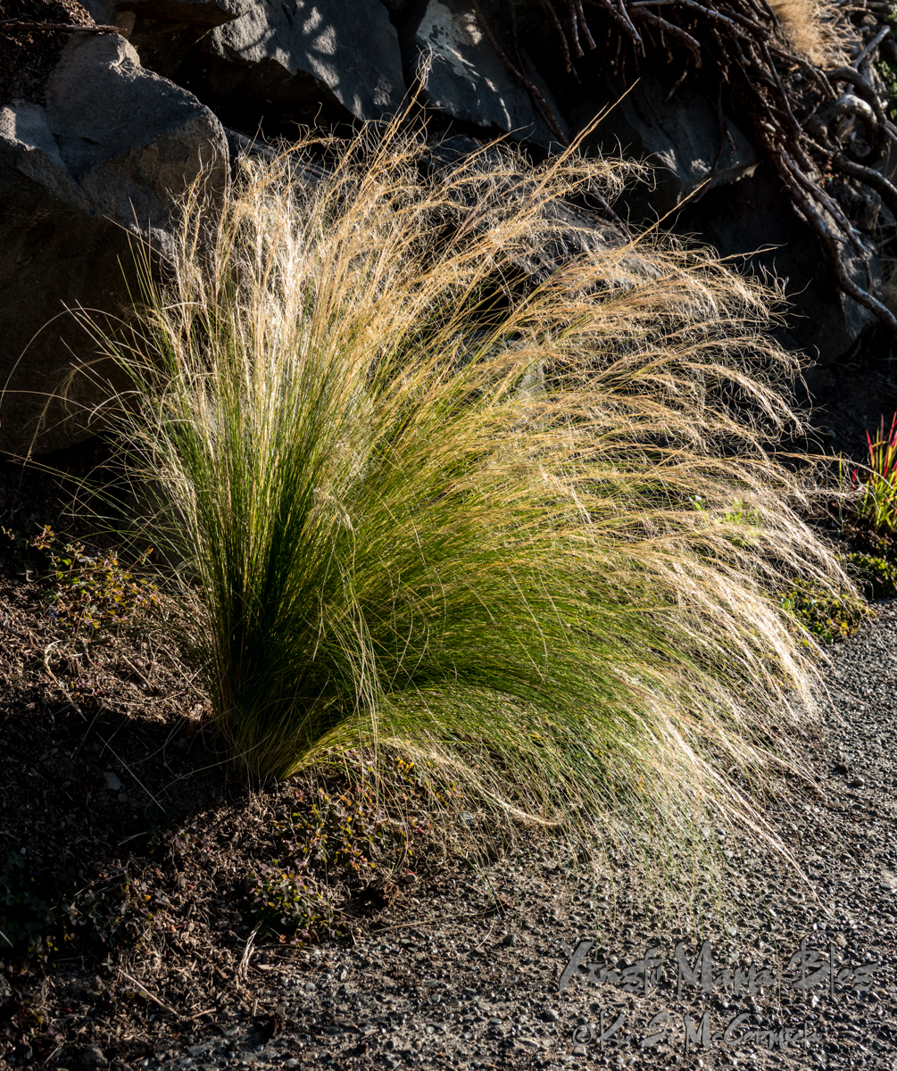 Ornamental grass still shows mostly green, in a neighbor's rock garden.