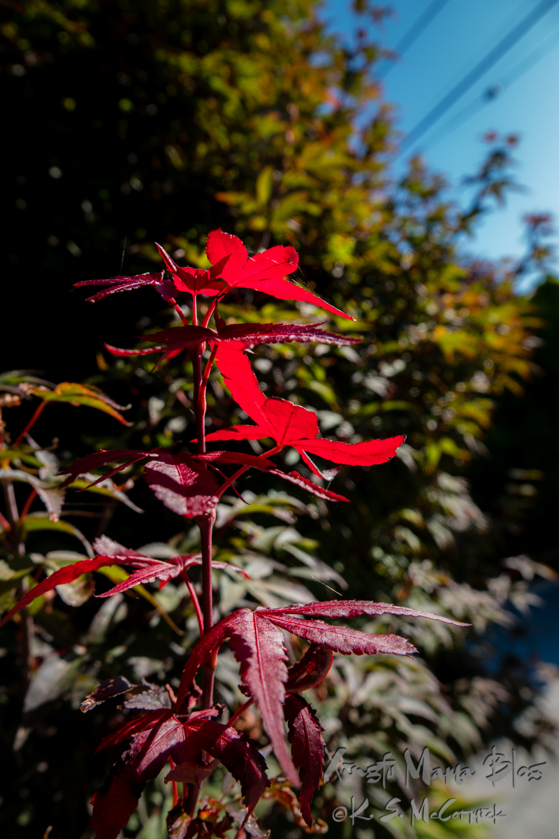 A first touch of fall colors at the edge of a Japanese maple.