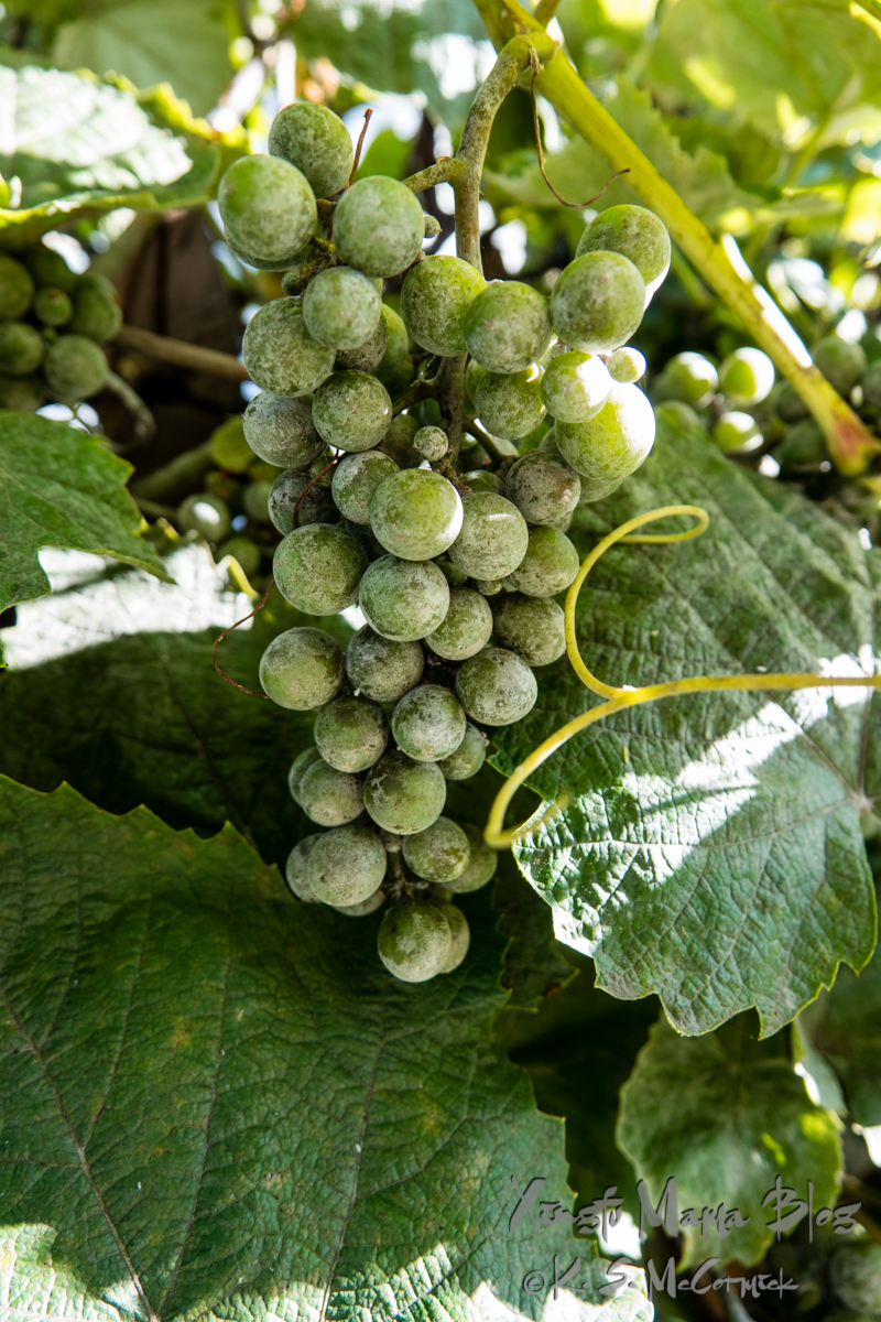 Grapes are formed but not yet ripe.