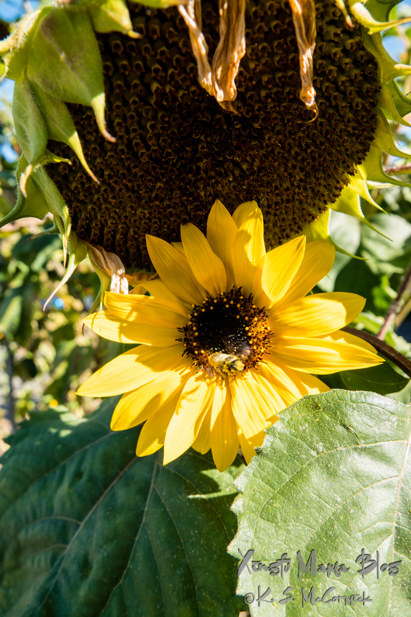 It looks like the bigger older sister sunflower seedhead is leaning over to protect a much younger and smaller sibling that just got to full bloom.