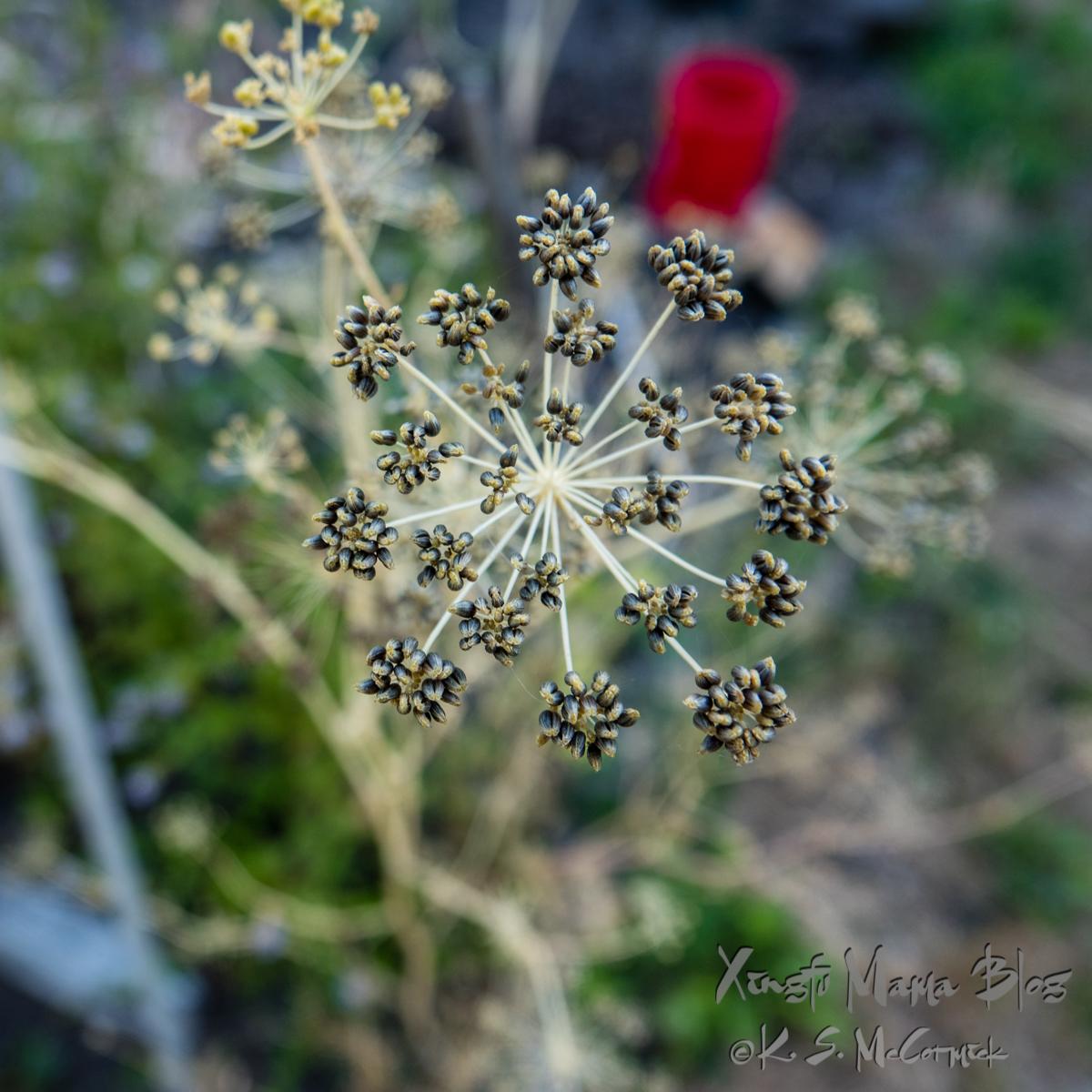 Parsley seed head look almost like a snowflake.