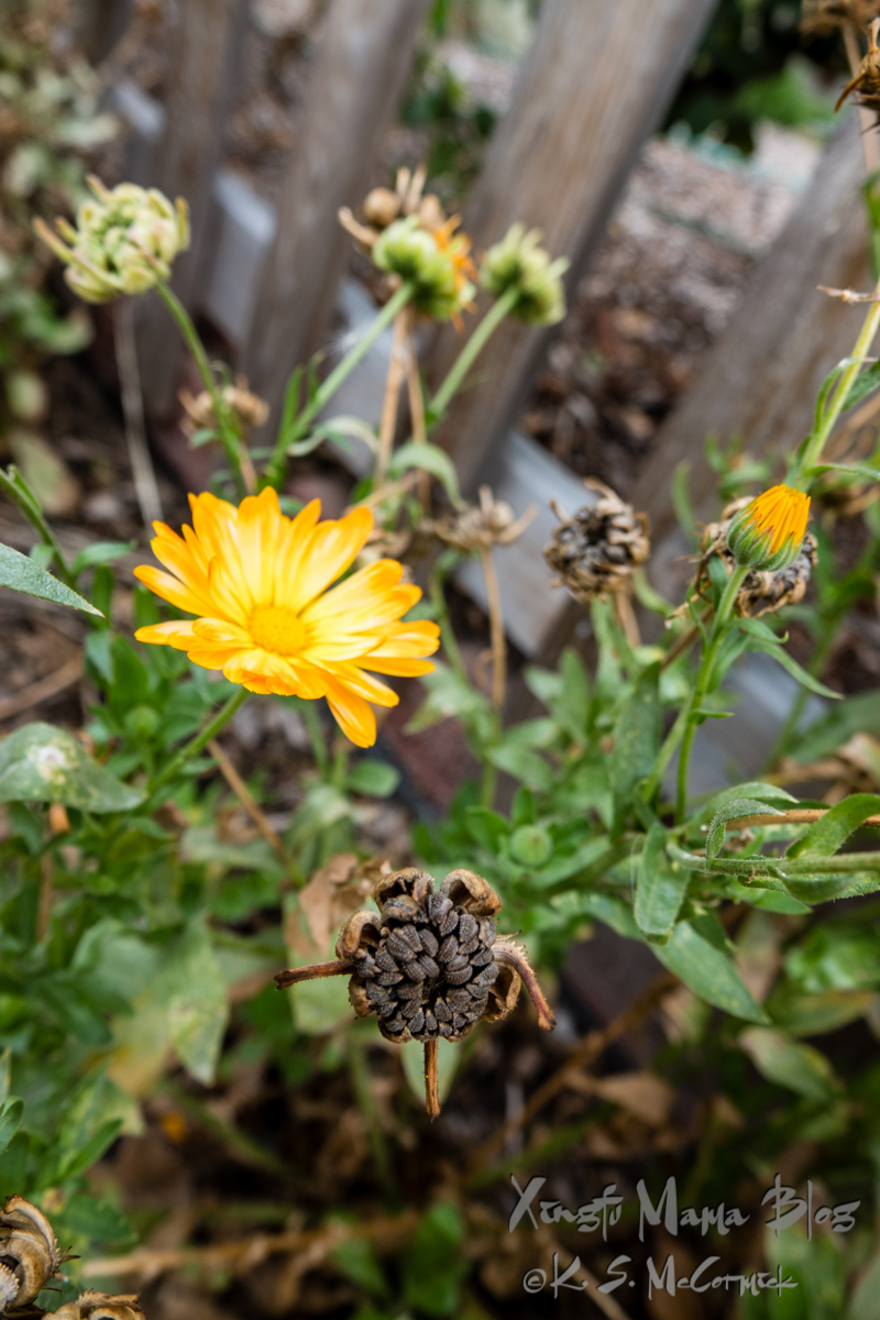 In September it seems like all the stages of the flower and seed heads are happening at the same time.
