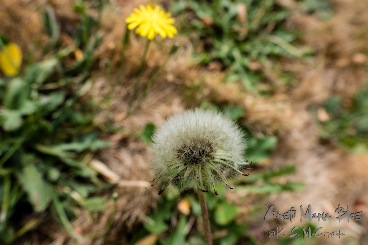 Make a wish, dandelion seedhead.