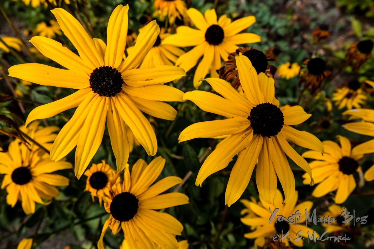 Black-eyed Susans glow in fall's less harsh sunlight.