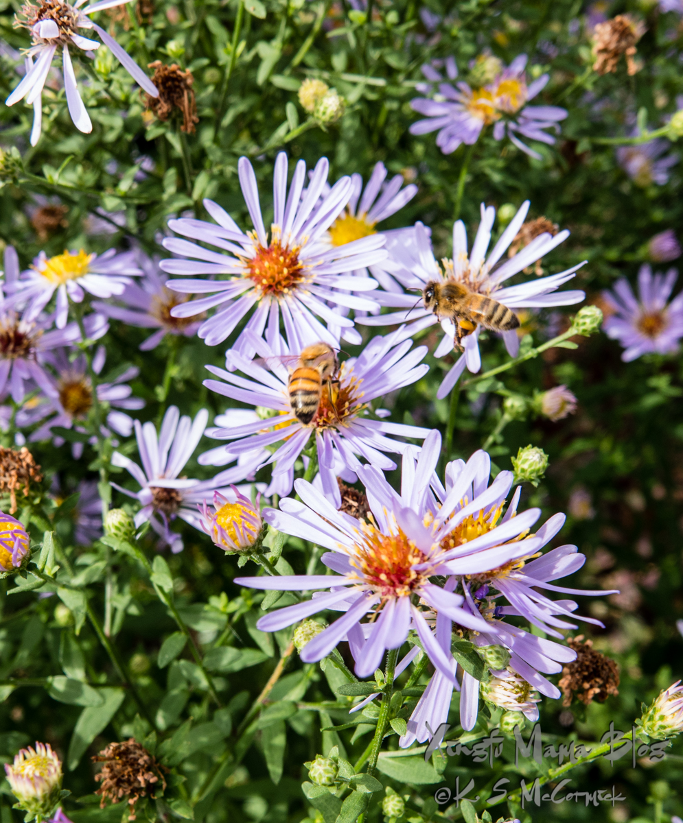 Asters and bees busy collecting for their winter stores.
