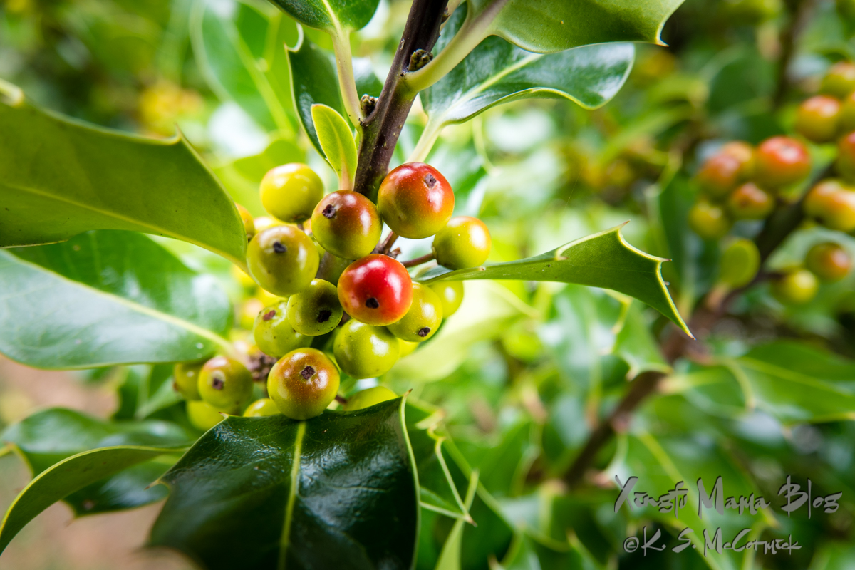 Hints of the winter ahead in the reddening of the holly berries.