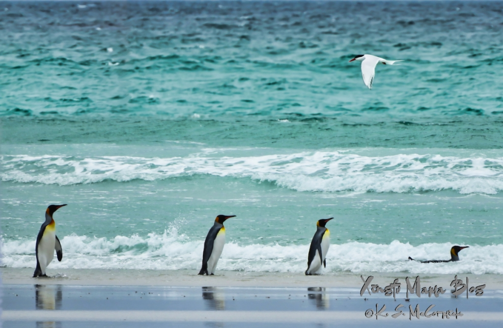 Falkland Islands seascape with king penguins and an antarctic tern. Photo from Volunteer Point bird sanctuary.