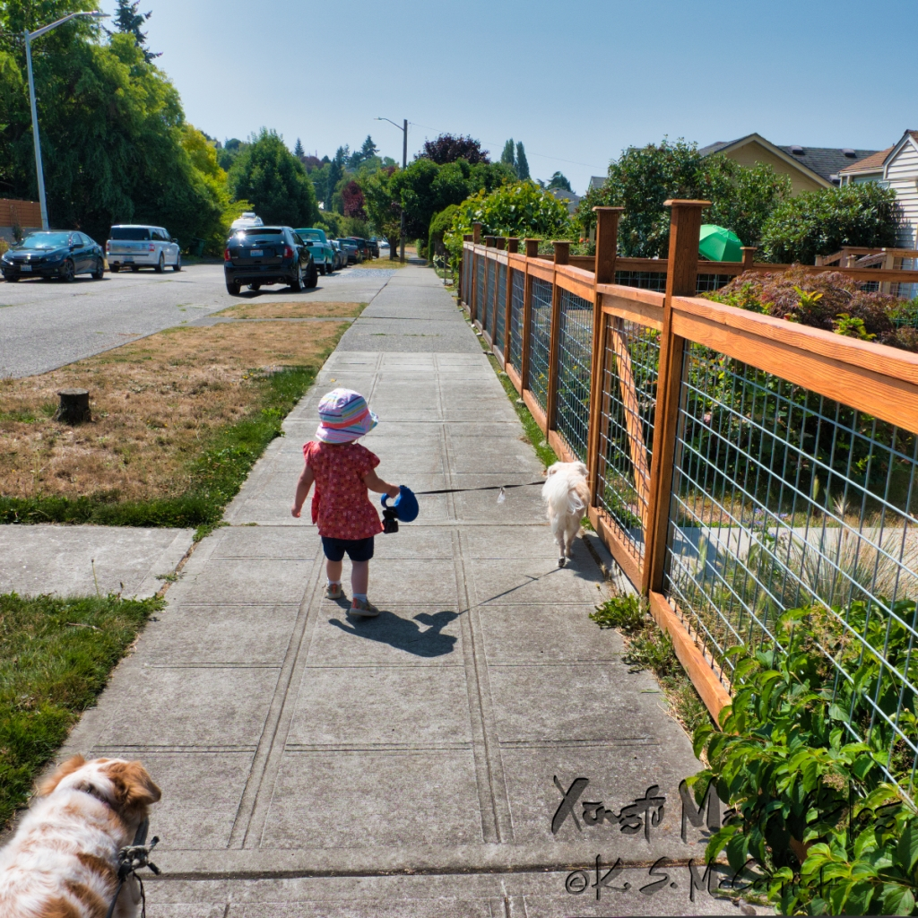 A square format photo of a toddler walking a small dog on a sidewalk beside a cedar and hog wire fence.