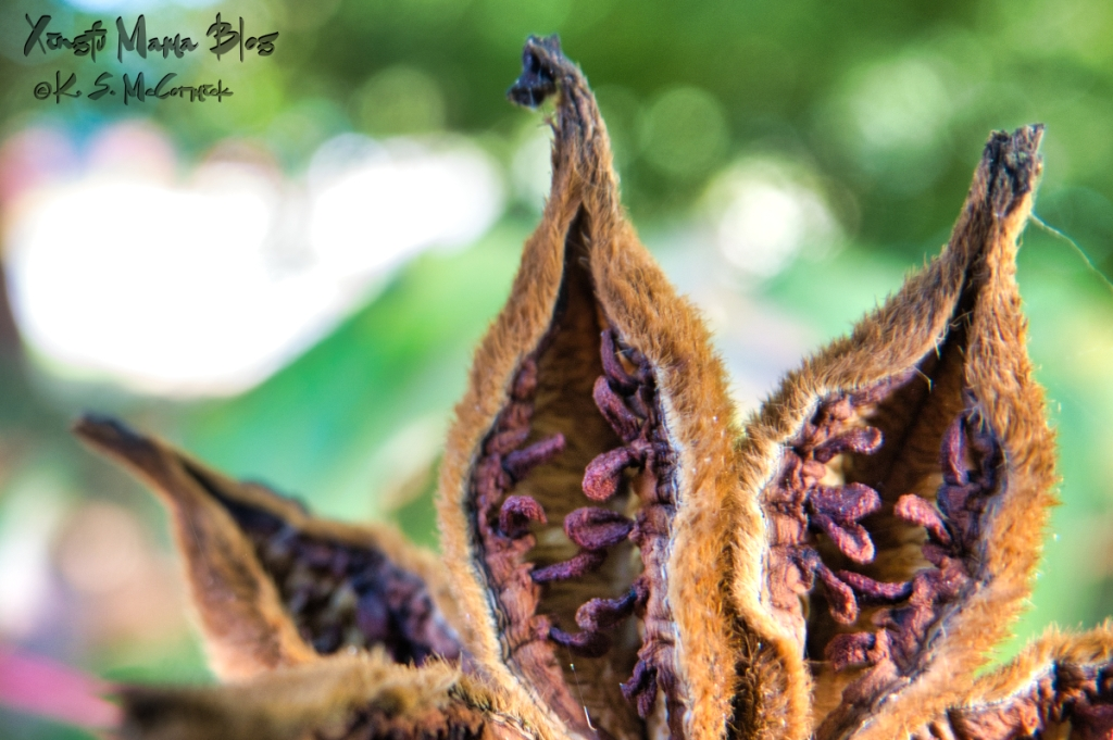 Close up photograph of open seed pods of a tree peony.