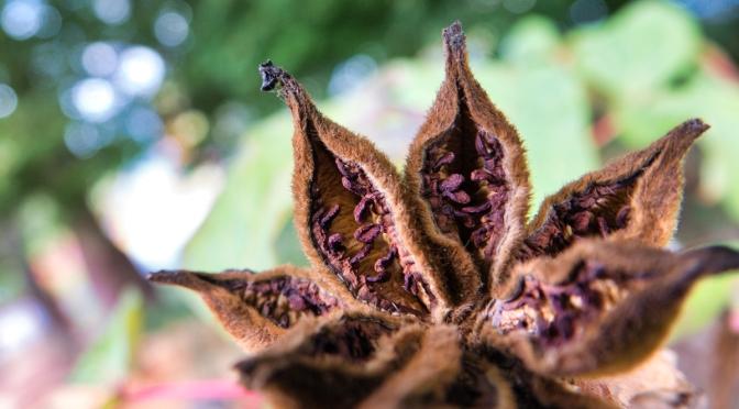 Tree peony seed pods
