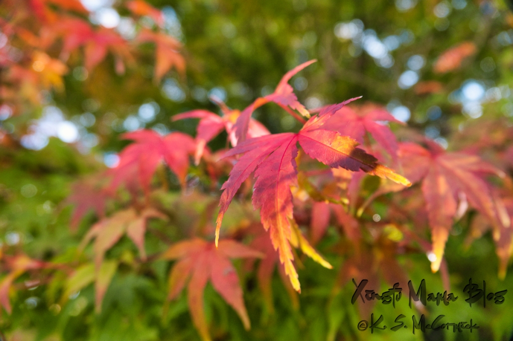 Japanese maple leaves turned red and gold.