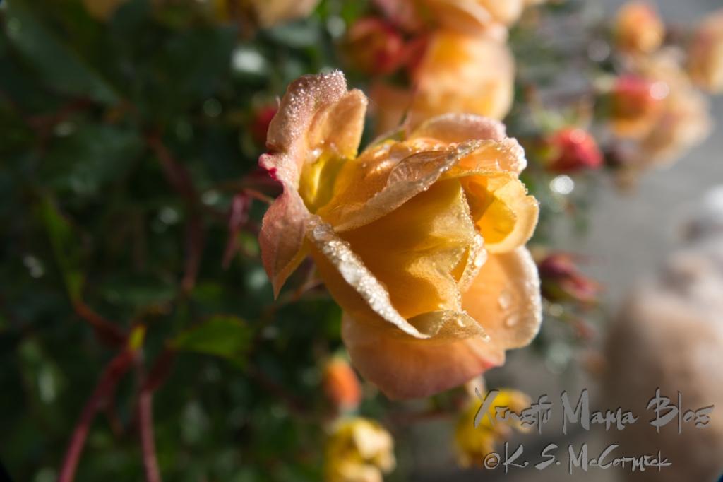Dew drops on soft rose petals.