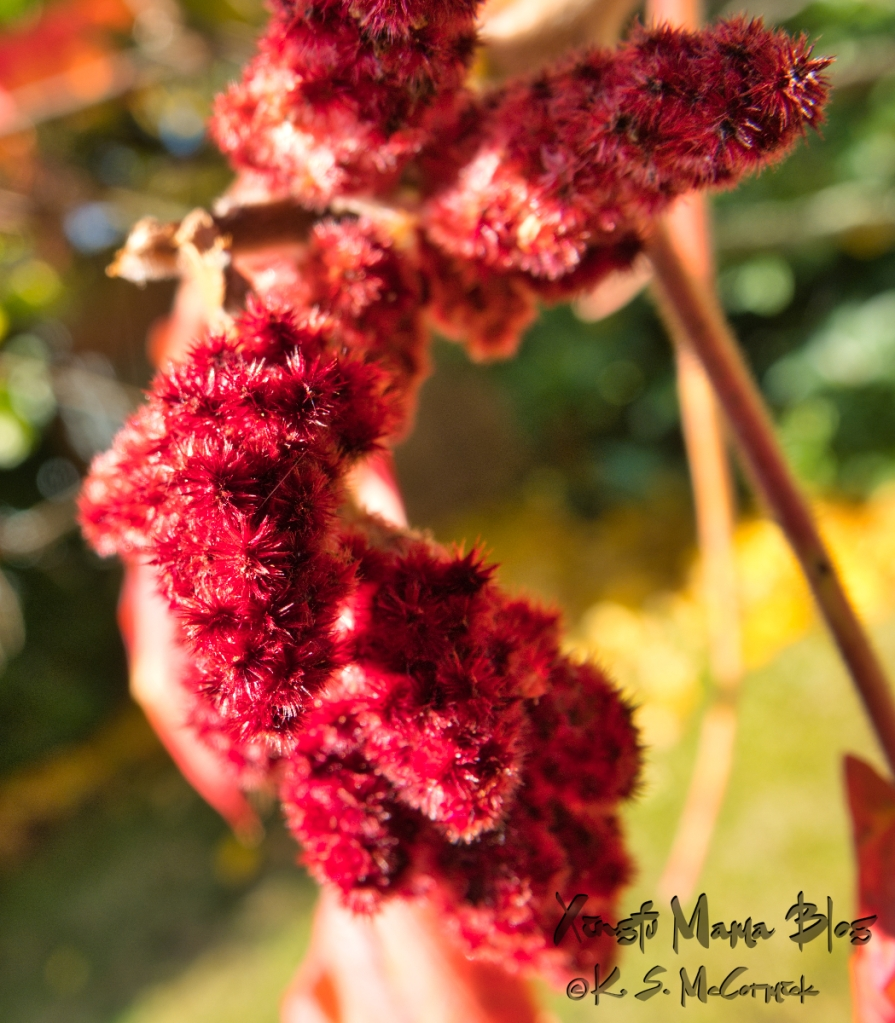 Close up of the fruit cluster of the stag horn sumac.