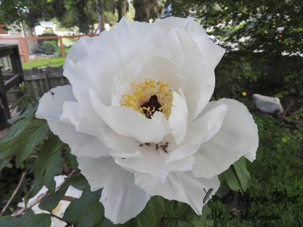 A white tree peony blossom with a dark red center and golden yellow stamens.