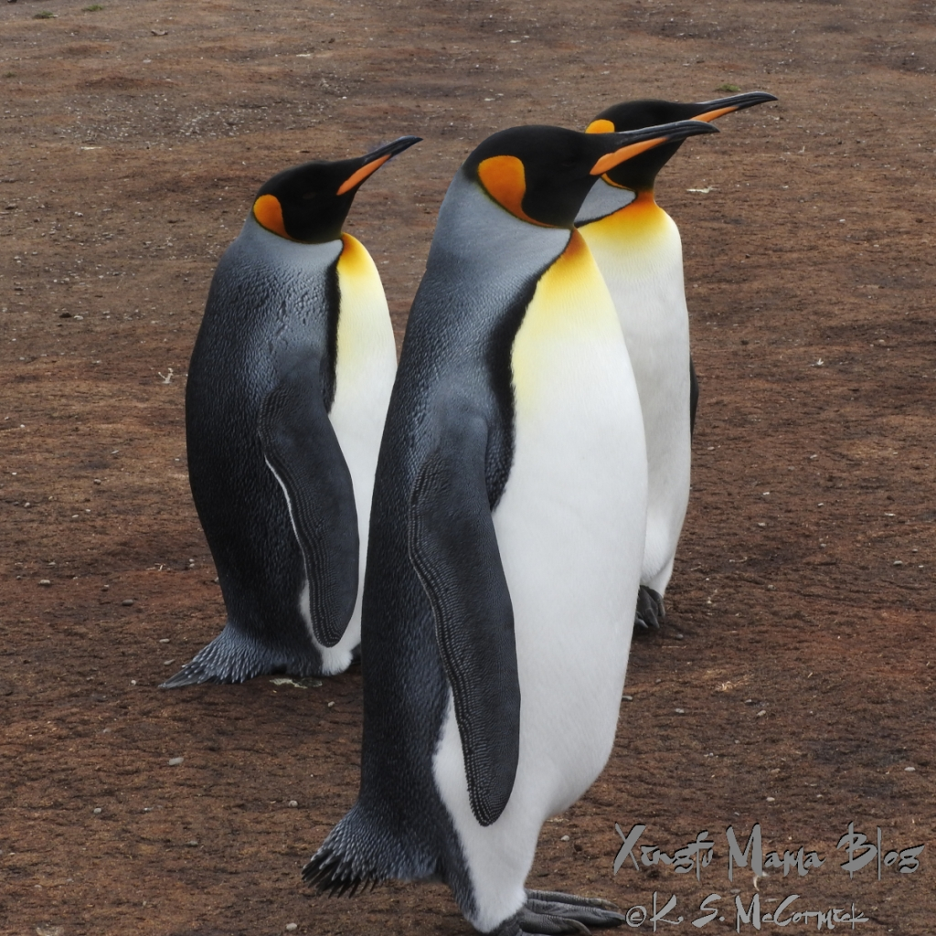 Three king penguins at Volunteer Point in the Falkland Islands.