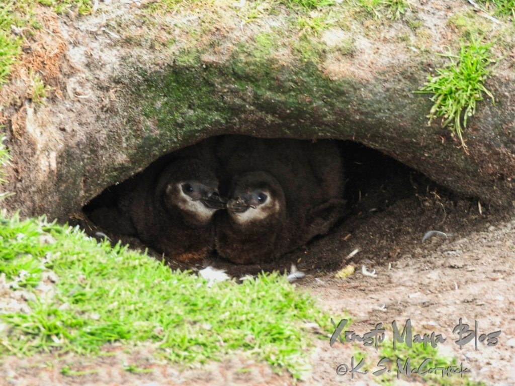 Two magellanic penguin chicks peek out of a tiny eye shaped cave, at Volunteer Point in the Falkland Islands.