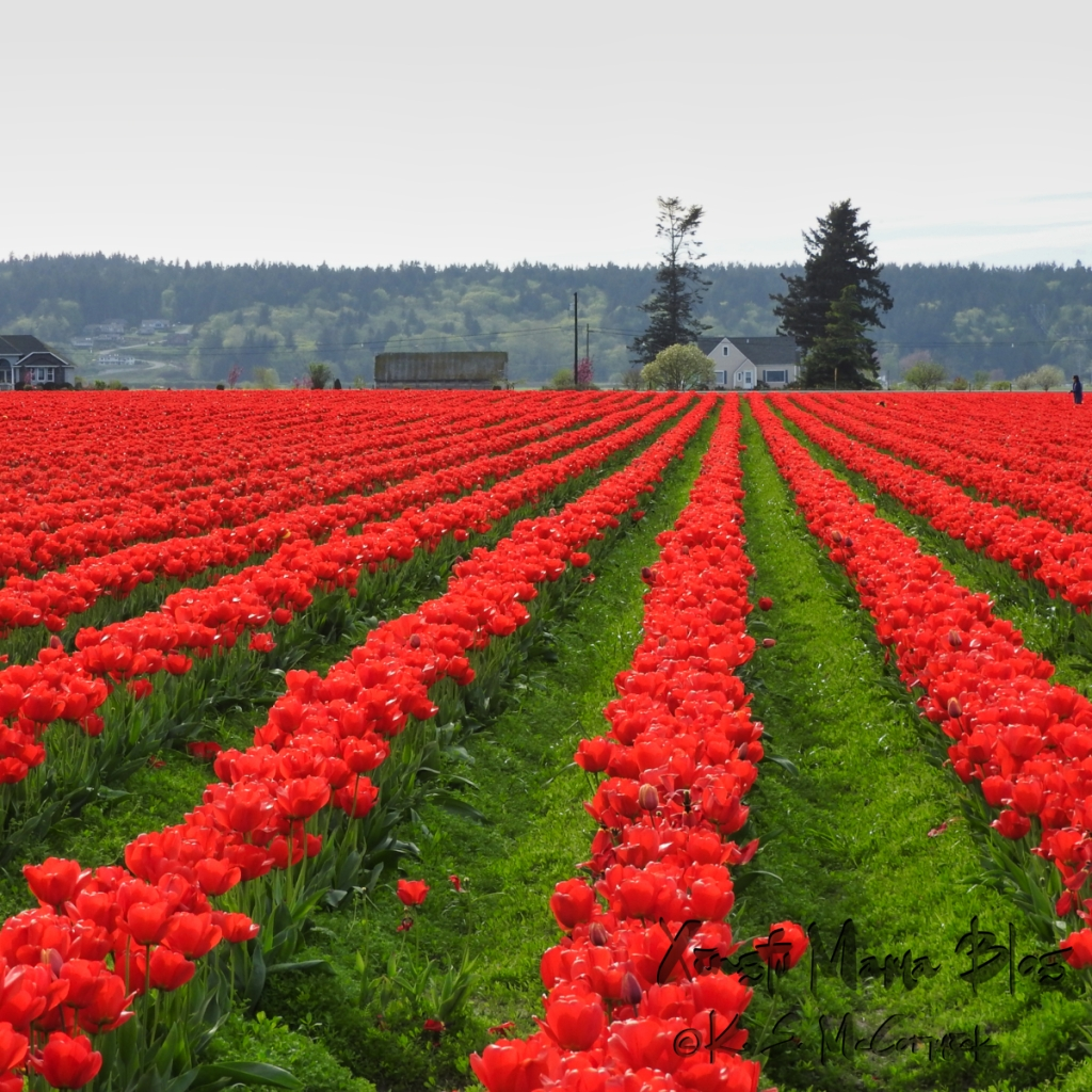Rows of red tulips growing in the Skagit Valley in Washington State.
