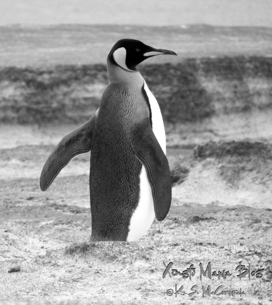 Black and white photo of a King Penguin walking in the sand at Volunteer Point in the Falkland Islands.