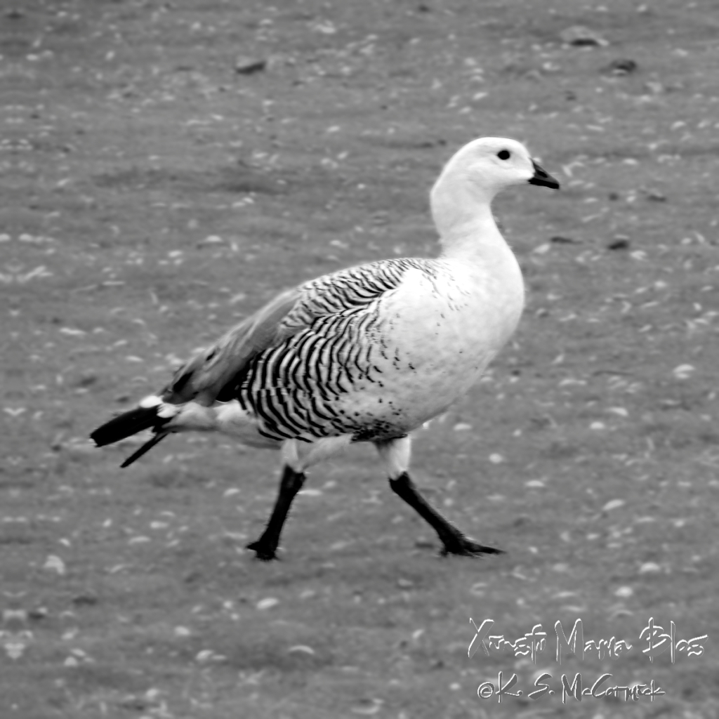 Black and white upland goose in black and white. Taken at Volunteer Point in the Falkland Islands.