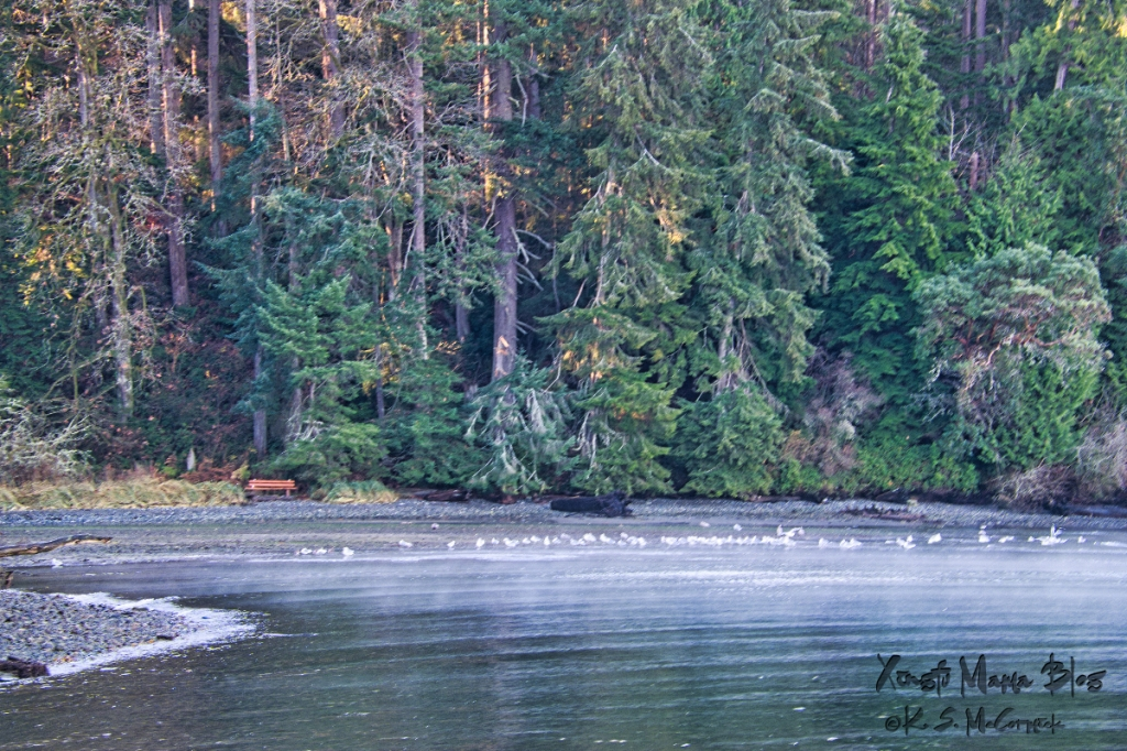 Morning sun shining in the trees and a flock of water fowl enjoying the calm of Fern Cove on Vashon Island.