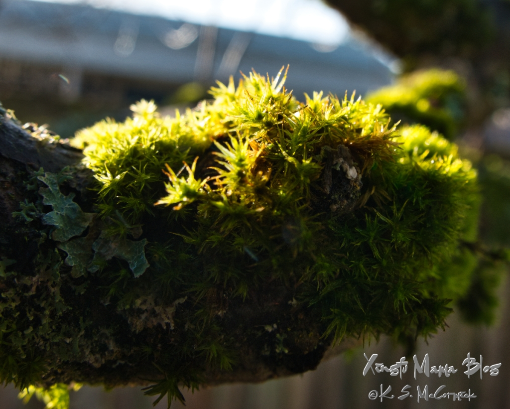 A miniature forest of moss and lichens lives on my apple tree.