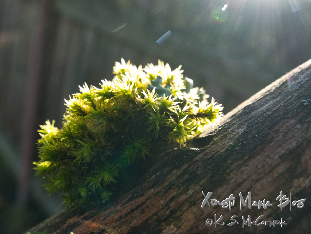 A tiny grove of bright green moss on a dead branch.