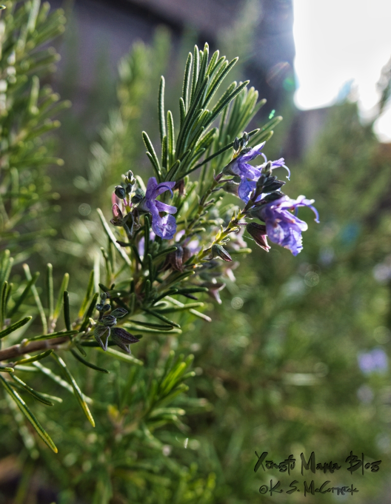 Even though rosemary is common, when you get up close the flower looks almost like an orchid.