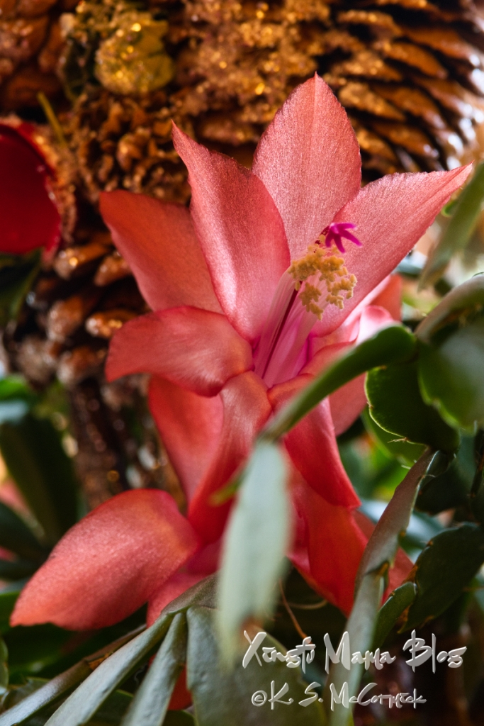 Close-up of a schlumbergera truncatus bloom.