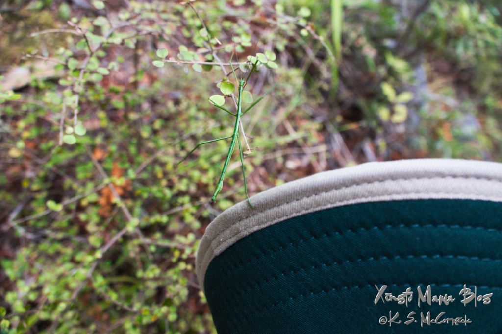 A stick insect moving from a hat onto a shrub.