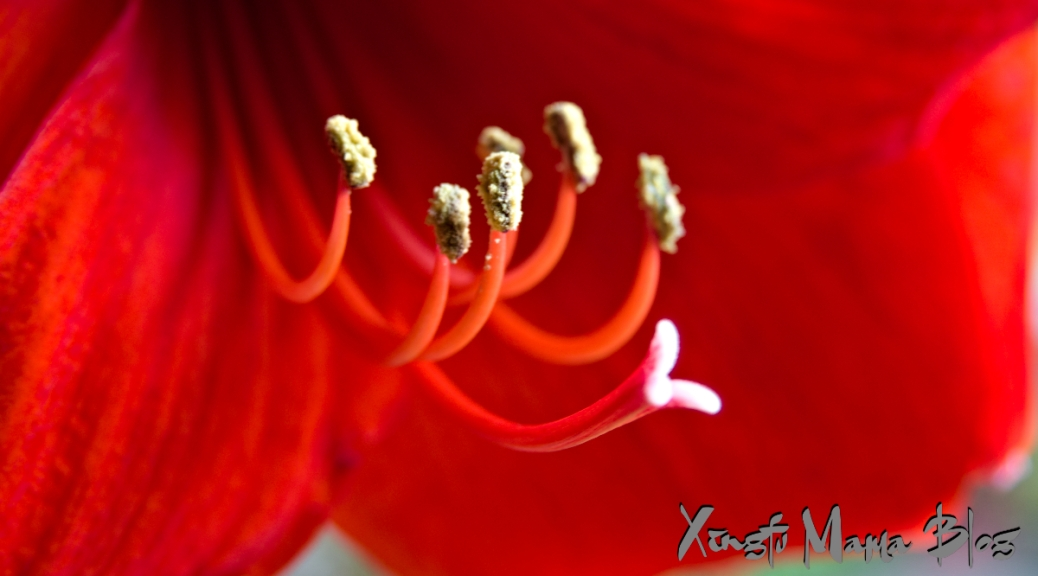 Close-up photo of the stamen and pistils of a red amaryllis.