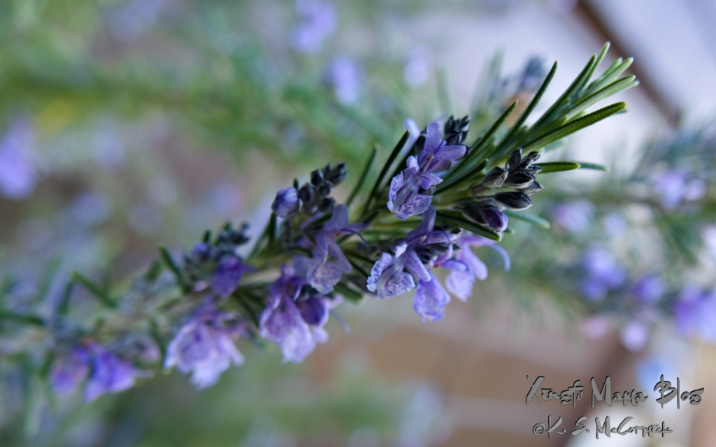 Close-up of rosemary in bloom.