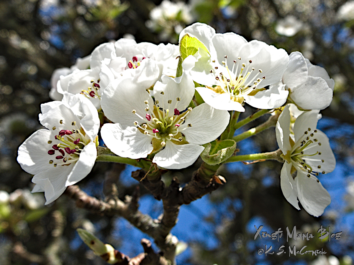 Pear blossoms.