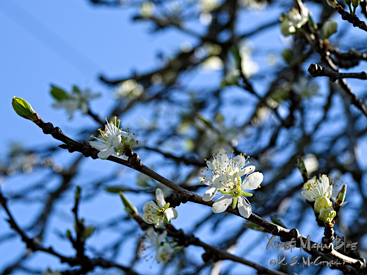 Blossoms on an Italian plum tree.