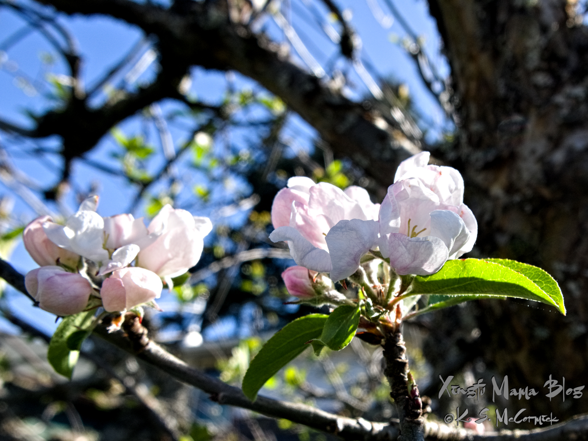Apple blossoms.