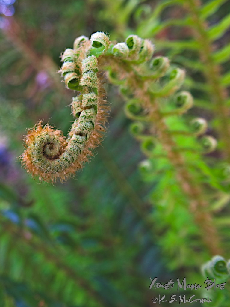 A new sword fern frond, a crve full of curls...with strawberry blond hair.