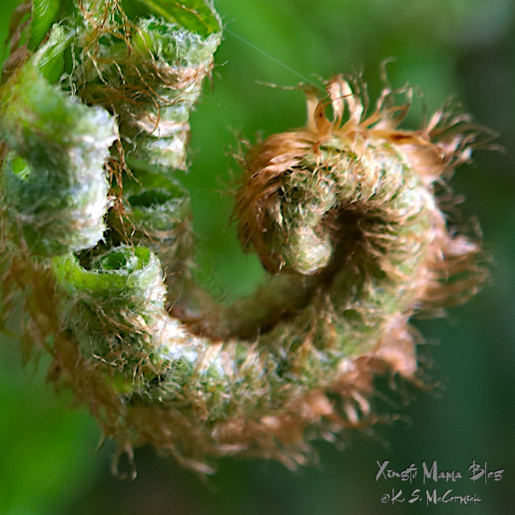 A close-up of the unfurling frond of a sword fern.