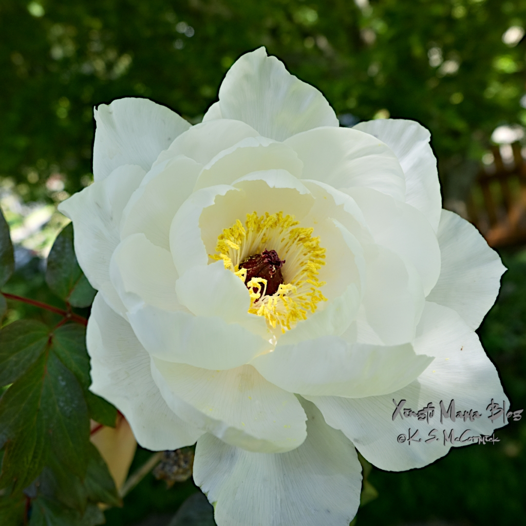 The yellow and red center of a white tree peony flower is lit by a chance sunbeam.