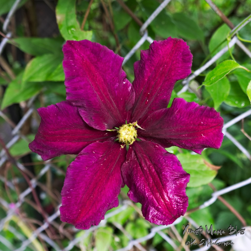 Deep purple clematis flower in full bloom.