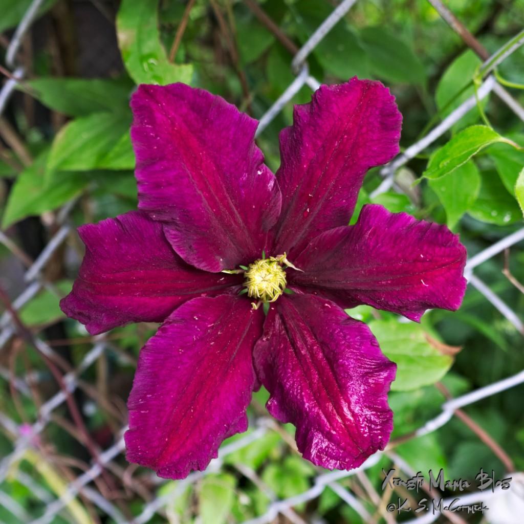 Deep purple clematis flower in full bloom.