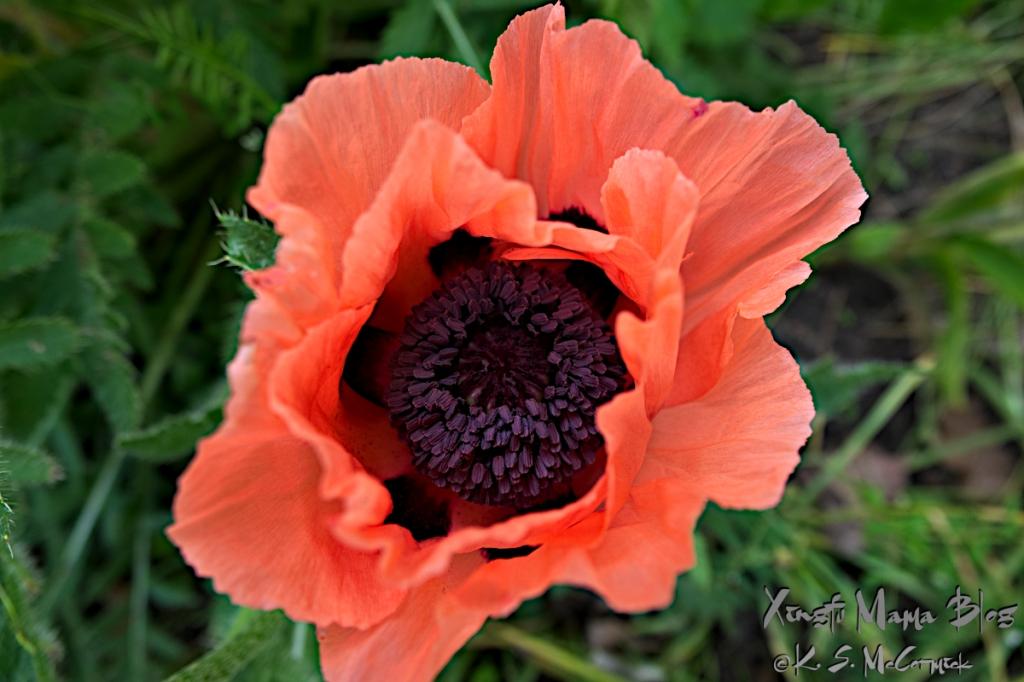 An oriental poppy